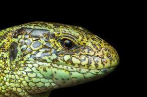 retrato masculino de lagarto em fundo preto foto