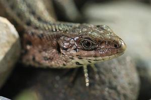 lagarto marrom em uma pedra perto foto