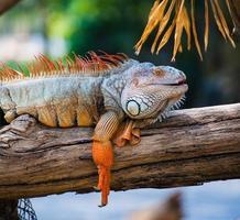 iguana preguiçosa deitado ao longo do galho foto