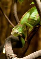camaleão verde no galho foto