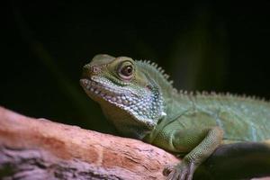 dragão de água chinês (physignathus cocincinus)