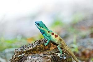 iguana azul na natureza foto