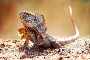 closeup de alerta lagarto babado foto