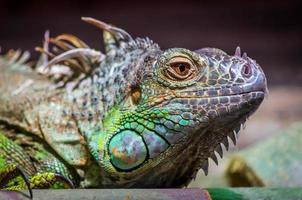 close-up de uma iguana verde masculina (iguana iguana).