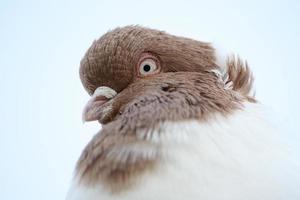 retrato de closeup de pombo foto