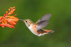 beija-flor de allens masculino (sasin do selasphorus) foto