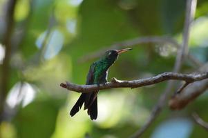 beija-flor, colibrì. foto
