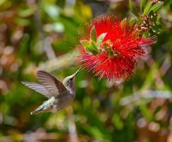beija-flor em voo em uma flor foto