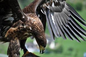 águia do mar nos Alpes, Áustria foto
