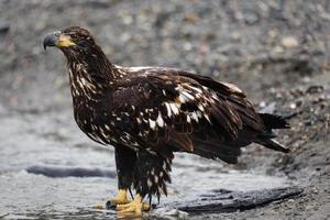 close-up de uma águia careca imatura na margem do rio foto
