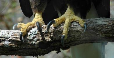 garras de águia foto