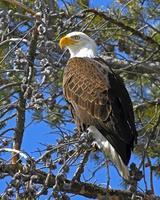 visão vertical de águia americana foto
