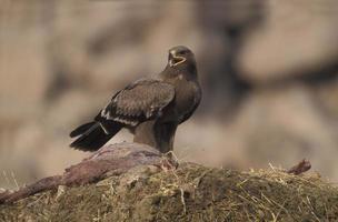 águia de estepe, aquila nipalensis, foto
