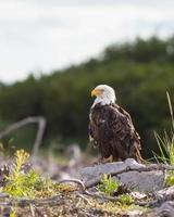 águia careca empoleirada foto