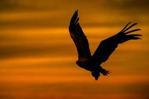 silhueta de águia foto