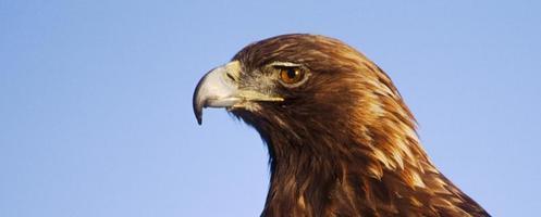 cabeça de águia pássaro-dourado