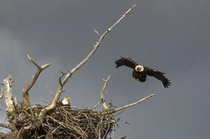 ninho de águia americana foto