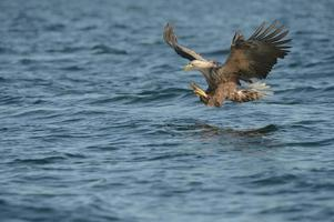 águia de cauda branca foto
