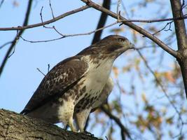 falcão de cauda vermelha na árvore no central park foto