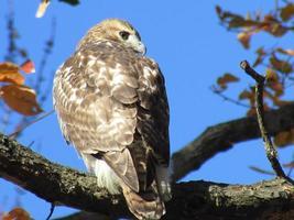 falcão de cauda vermelha no central park foto