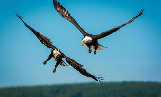 duas águias em voo foto
