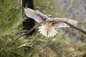 falcão ferruginoso foto
