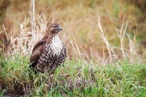 Falcão de cauda vermelha juvenil foto