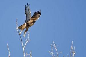 falcão de cauda vermelha decolando das copas das árvores
