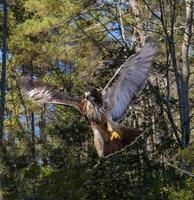 ave de rapina o falcão de cauda vermelha foto