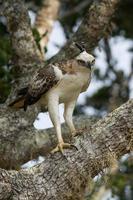 águia-falcão mutável (nisaetus cirrhatus) foto