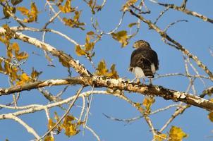 caça de falcão afiado-shinned da árvore do outono foto