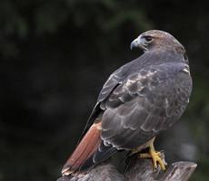 a parte de trás de um falcão de cauda vermelha foto