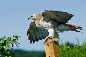 Falcão de cauda vermelha, levando para o vôo