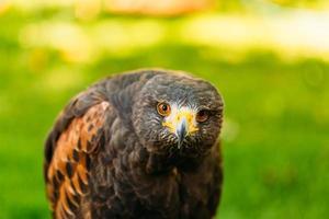 o falcão-harris (parabuteo unicinctus) é um pássaro de tamanho médio foto