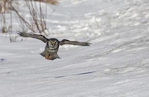 coruja do norte foto