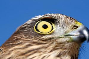 aves da europa e do mundo - sparrow-hawk foto