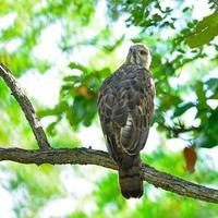 águia mutável do falcão foto
