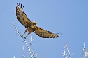 falcão de cauda vermelha decolando de copas das árvores com asas estendidas