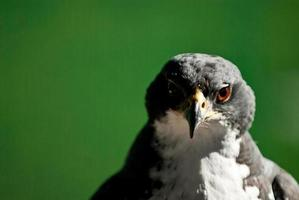 águia falcão africano foto