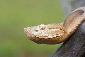 cobra do Sul Copperhead foto