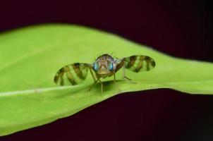 insetos, moscas da flor foto