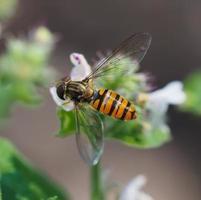 hoverfly na floresta foto