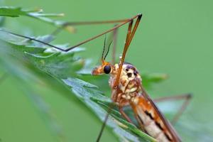insetos mosquitos foto