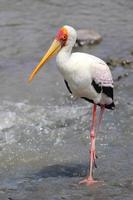 pesca de cegonha de bico amarelo foto