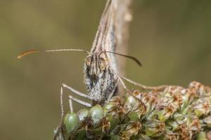 kleines wiesenvögelchen (coenonympha pamphilus) foto