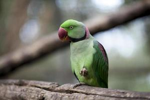 papagaio alexandrine foto
