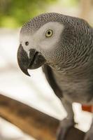 papagaio cinza africano foto