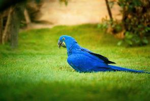 papagaio azul ou tulipa foto