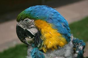 papagaio doente foto