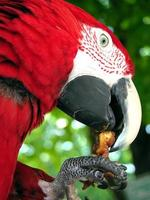 papagaio mccaw vermelho comendo uma porca foto